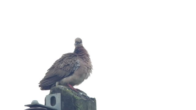 spotted dove is cleaning wings video