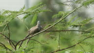 Spotted dove resting on the tree video