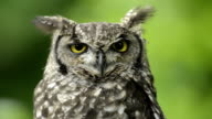Spotted eagle-owl looking around video