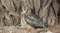 Spotted eagle-owl video