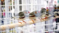 Spotted Finches in Cage (HD) video