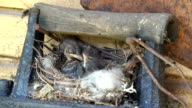 Spotted Flycatcher nestling sit in hay nest outdoor on wall video