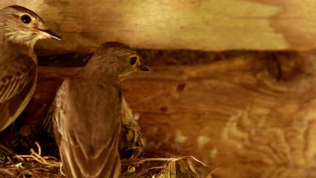 Spotted Flycatcher parent give eat to child video