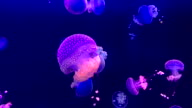 Spotted Jellyfish video