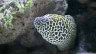 Spotted moray in coral reef video