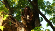 Spotted owlet video