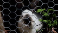 Spotted rabbit eats birch leaves sitting in a cage. video