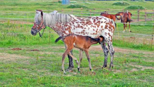 spotty mare feeds the foal on a pasture video