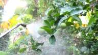 Spraying lime tree. video