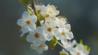 Sprig of flowering apple trees on wind video
