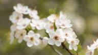Sprig of flowering trees video