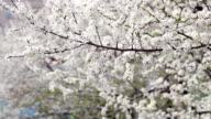 Spring background. Blossoming tree in spring. Cherry blossom in spring video