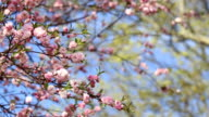 Spring background of Sakura tree video