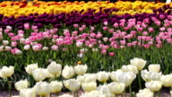 Spring background of Tulip field video