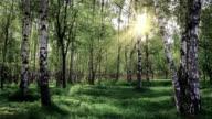 Spring birch grove video
