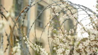 spring bloom on fence with barbed wire video