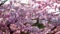 Spring Blossoms video