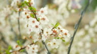 spring cherry blossom over the barbed wire fence video