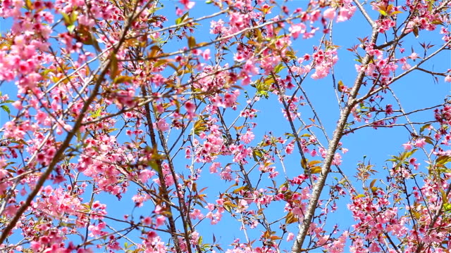 Spring Cherry blossoms video