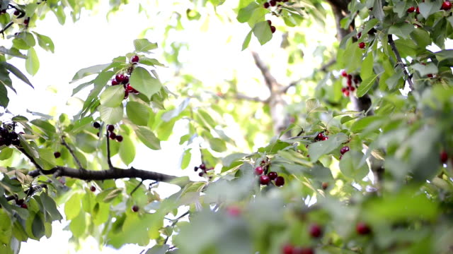 Spring cherry tree full of fruits video