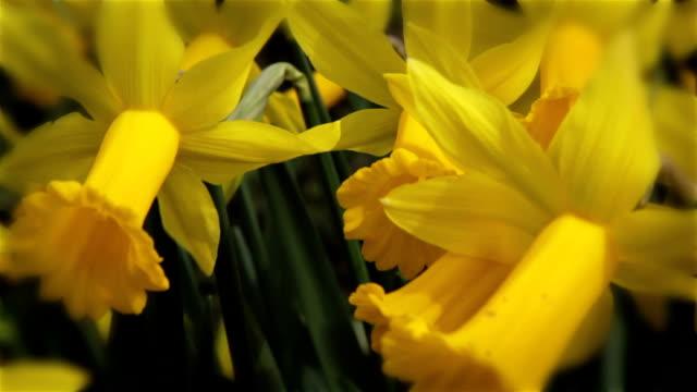 Spring daffodils pan video