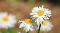 HD: Spring Daisy Macro video