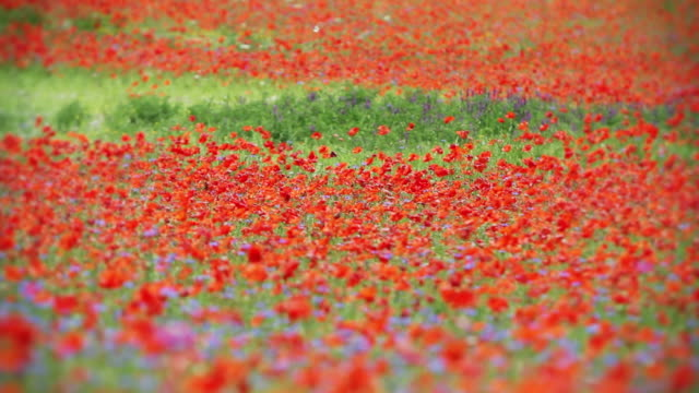 Spring Field Blooming with Poppies Focusing video