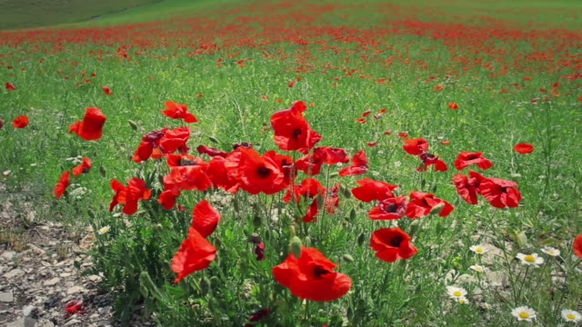 Spring Field Blooming with Poppies video