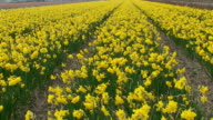 Spring. Field of yellow jonquil video
