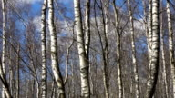 Spring flood water in birch forest video
