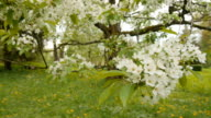 Spring flower on big cherry tree video