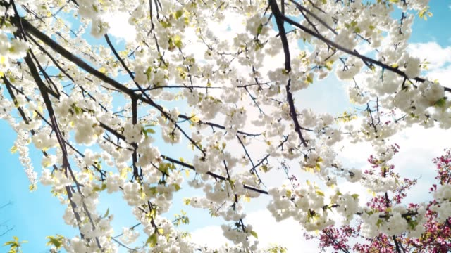 Spring flowers blooming in springtime with blue sky ,sun and clouds video