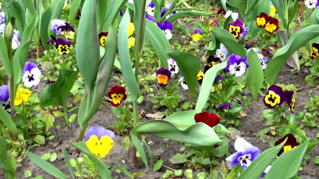 Spring Flowers of Pansies Close-Up video
