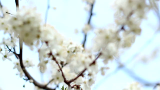 Spring flowers on tree on sky background. White flowers on cherry branches video