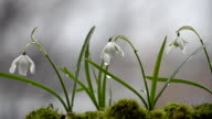 Spring flowers snowdrops in rainy weather. Selective focus video