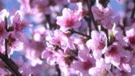 Spring Flowers, Through Pink Blossoms video