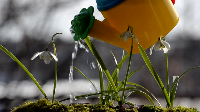 Spring flowers watered from a watering can video