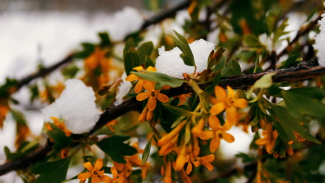 Spring flowers with green leaves in the snow. Green branches in the snow video