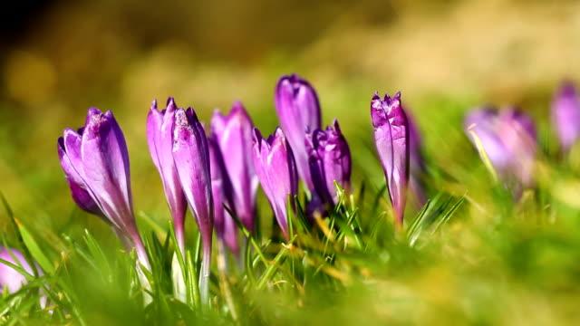 Spring fresh crocuses video