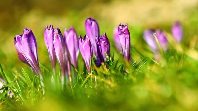 Spring fresh violet crocuses video
