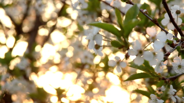 Spring in orchard. video
