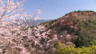 Spring Landscape of the Mt.Yoshino,in Nara Japan video