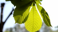 Spring leaves of chestnut in the sun close-up video
