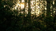 Spring morning in a pine forest. video