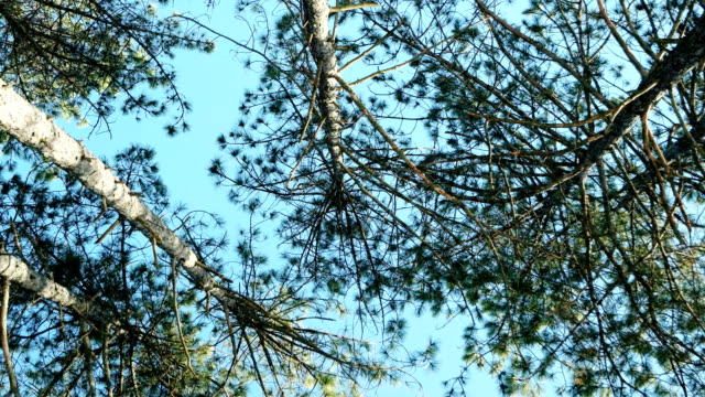 spring park with lots of trees, sunny day, pine trees, spruce against the blue sky, forest video