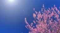 Spring Pink Cherry Blossom and blue sky , 4k(UHD) video