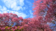 Spring Pink Cherry Blossom Trees video