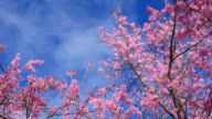 Spring Pink Cherry Blossoms with Blue Sky Backgrounds video