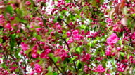 Spring red-pink plum flowers blossoms video