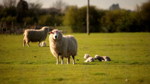 Spring sheep and lambs video
